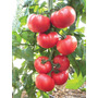 50 Semillas Tomate Jitomate Beefsteak Hortaliza Huerto