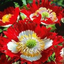 50 Semillas Poppy Danès Amapola Papaver Somniferum Jardin