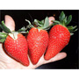 45 Semillas Fresa Gigante Organica Envio Gratis