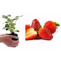 100 Semillas Fresa Gigante Organica Envio Gratis