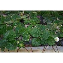 Plantas De Fresa Cantidad De 500 Envío Gratis