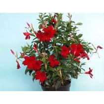 Diplademia Roja 10 Semillas Flor Jardin Planta Mpsdqro