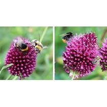 50 Bulbos De Allium Sphaerocephalon - Ajo Japones Cod. 485