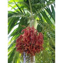 20 Semillas De Palma Solitaria Ptychosperma Elegans
