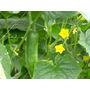 1 Lb De Semillas De Cucumis Sativus Pepino Wisconsin Smr 58