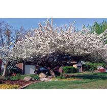 Manzano Silvestre (10 Semillas)