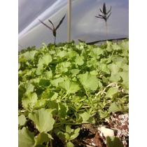 Centella Asiatica Gotu Kola Brahmi Planta Semillas Stevia