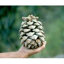 10 Semillas De Pinus Maximartinezii - Maxi Piñon Codigo 918