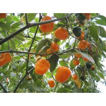 60 Semillas Capsicum Pubescens Chile Manzano Codigo 472