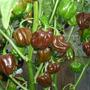 20 Semillas Chile Habanero Chocolate O Cubano Picante Vbf