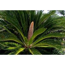 3 Semillas De Cycas Revoluta - Palma Sago Codigo 955