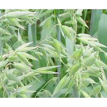Semillas De Avena Organica - Avena Sativa Var.chihuahua