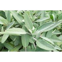 15 Semillas Orgánicas De Salvia Aromática Salvia Officinalis