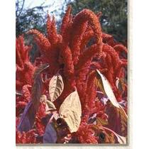 200 Semillas De Amaranthus Hypochondriacus (amaranto) C. 182