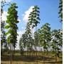 50 Semillas De Paulownia Shan-tong