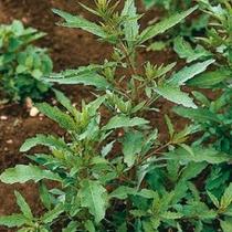 30 Semillas De Chenopodium Ambrosioides - Epazote Codigo 205