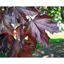 Acer Platanoide (10 Semillas)