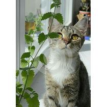 50 Semillas Hierba Gatera El Cannabis De Gatos Catnip Jardin