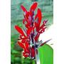 Canna Indica Roja 10 Semillas Flor Jardín Bulbos Sdqro