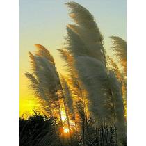 100 Semillas Pampagrass (hierba De Las Pampas)