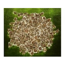 Semillas De Moringaoleifera