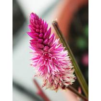 Sobre Con 60 Semillas De Celosia Cramers Amazon