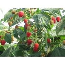 1 Planta De Frambuesa De 50cm Productora, Frutal Exotico