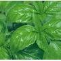 Semillas De Albahaca Italiana Aromatica Plantas Jardin