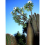 15 Semillas De Palma De Madagascar, Pachipoide