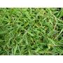 100 Gramos Semillas Pasto Zoysia Japonica - Zoisia Cod.99