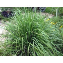 Lemon Grass 50 Semillas - Cymbopogon - Herb