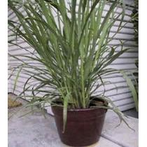 D768a Hierbas Lemon Grass (verde) 500 Polinización Abierta S