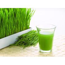 Kit Cultivo Wheat Grass Pasto De Trigo Hidroponía Germinar