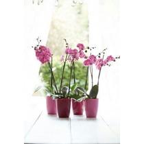 Set Maceta Brruselas Para Orquídea + Deco Orquidea