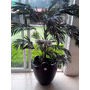 Planta Artificial Palma Areca En Maceta