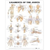 Los Ligamentos De La Tabla De Articulaciones Anatómico