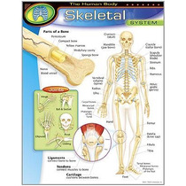 Poster Esqueleto Humano Inglés 43x55cm Lámina Educ Trend