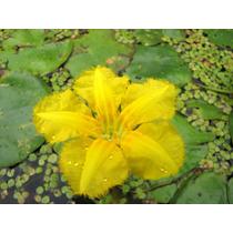 Nymphoides Peltata.planta Acuática De Aguas Profundas.