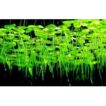 Planta Flotantes Lenteja De Agua