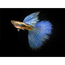 Pareja De Guppies Superior Blue Grass Htd Macho Y Hembra