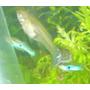 Guppy Japan Blue Foto Real