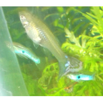 Guppy Japan Blue Foto Real
