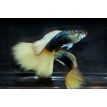 Pareja De Guppies Hb Yellow Macho Y Hembra