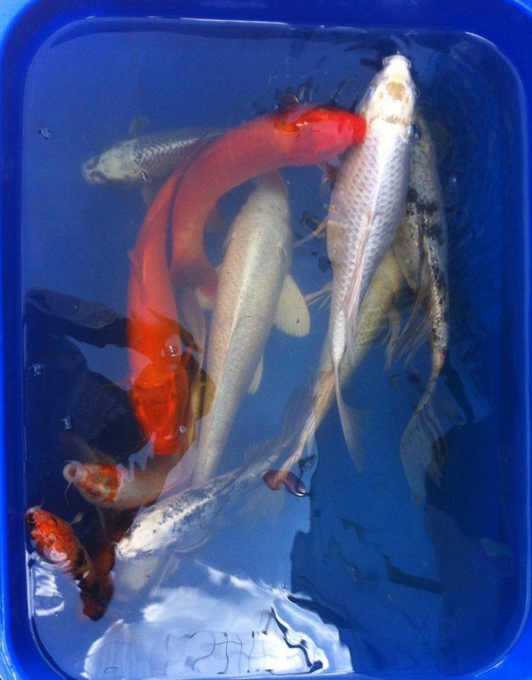 Peces carpa koi colores solidos grandes para estanque - Peces koi precio ...