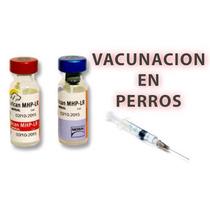 Vacunas Para Perro Pupy,bordetella,quintuple,vacunacion