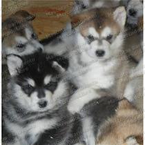 Gran Oferta Cachorros Alaska Malamute Genuinos Registro Fcm