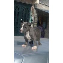 Cachorros American Bully100% Color Blue De 2 Meses De Edad V