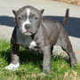Cachorros Pitbull Y Bully - Criadero Xxl Exotic Pits Lomejor