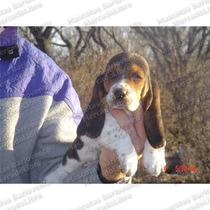 Gran Oferta Cachorros Basset Hound Muy Orejones Registro Fcm