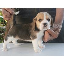 Cachorros Beagle Hijos Campeon Microchip Tatuaje Y Certi Op4